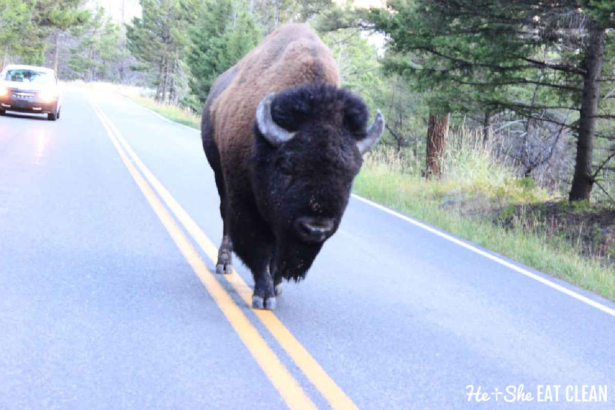 lone bison walking on the double yellow line on a road in Yellowstone National Park