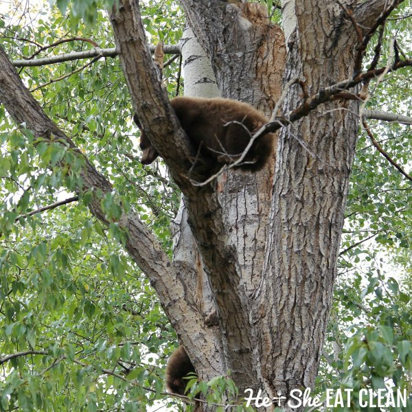 black bears in the trees in Aspen, Colorado