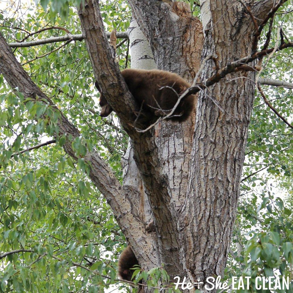 Black bears in Aspen, Colorado