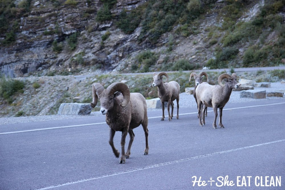 Big horn sheep on Going to the Sun Road in Glacier National Park, Montana