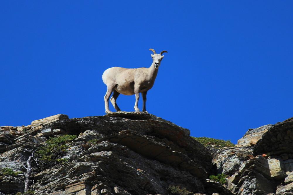 mountain-goat.jpg