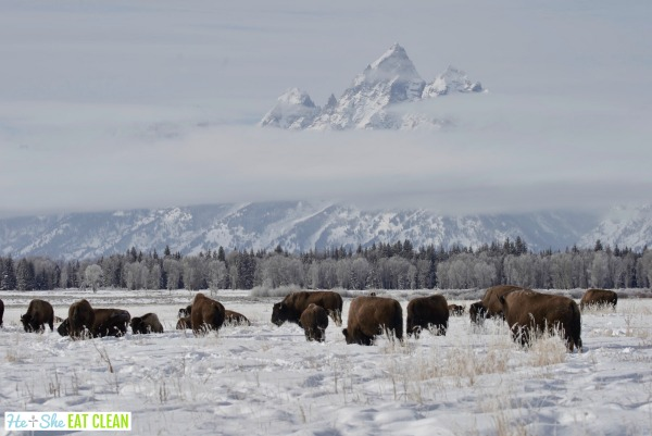 bison standing in the snow in front of the snow capped Teton Mountains