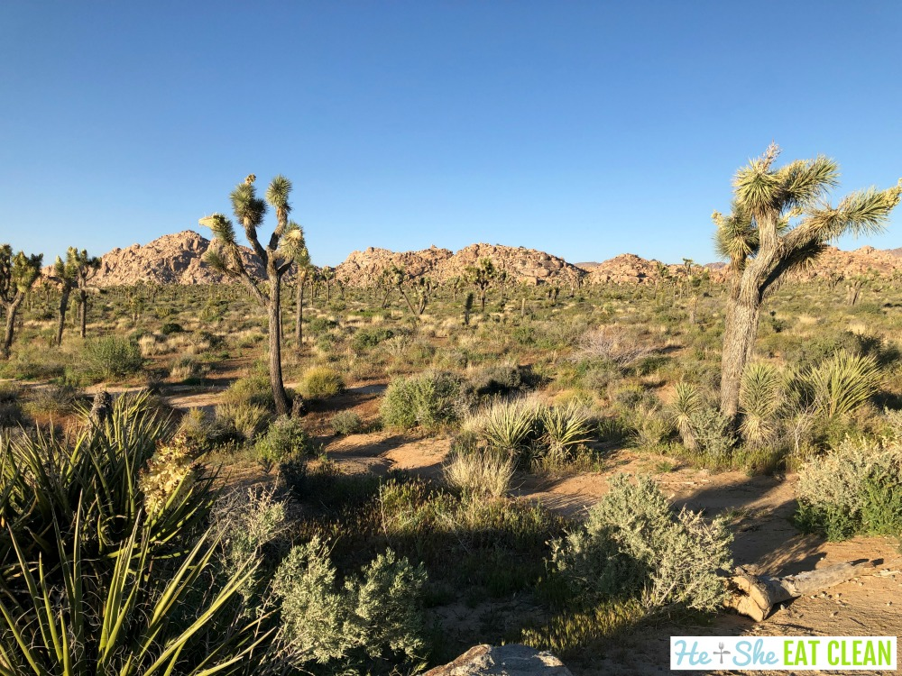 desert landscape with short bushes and joshua trees